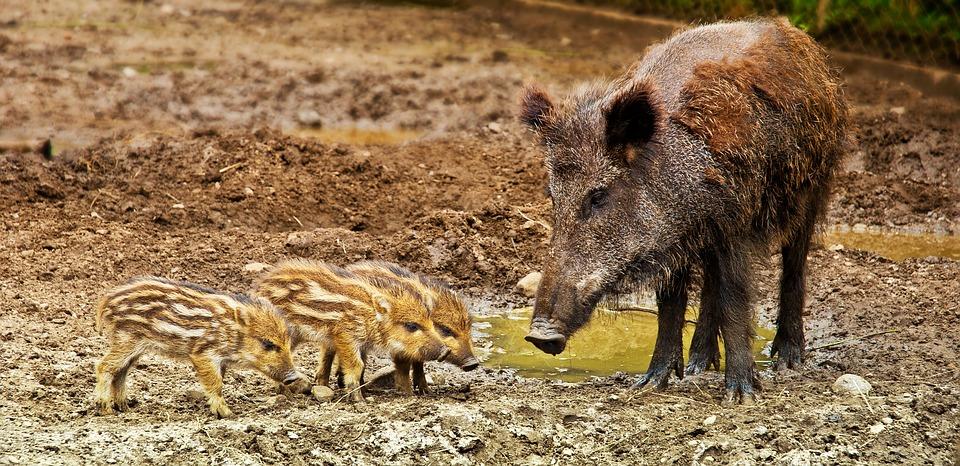 wildschweine vertreiben